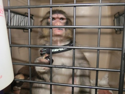 Ikea monkey moves into sanctuary as 'home video' emerges