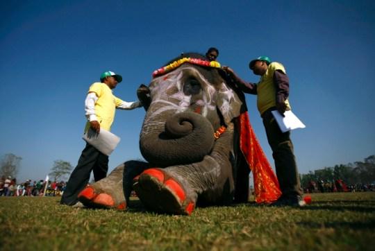 Nepal elephant contest