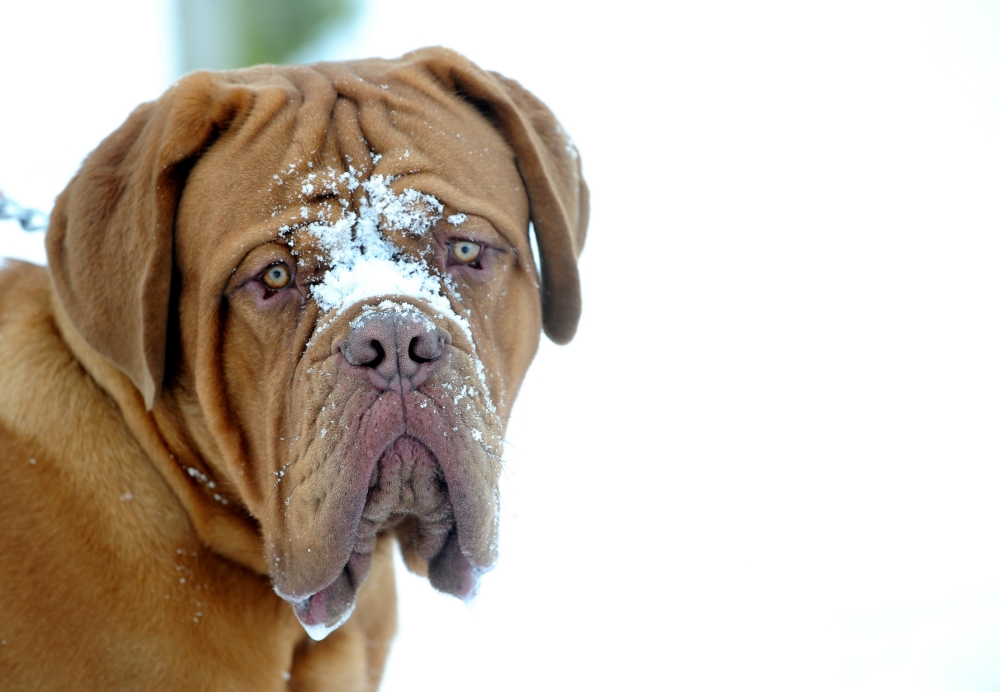 Buster the Dogue De Bordeaux with snow on his face in Herrington Country park near Sunderland today as the cold snap continues to hit the UK