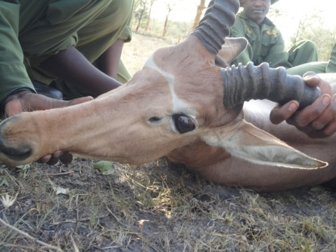 Endangered antelopes fitted with GPS collars