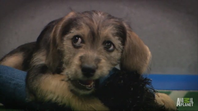 Top dog; Puppy Bowl IX MVP Marta Picture: Animal Planet