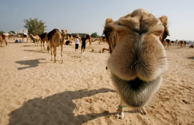 12 Dec 2010, Doha, Qatar --- (101212) -- DOHA, Dec. 12, 2010 (Xinhua) -- A camel looks into camera in the outskirts of Doha, capital of Qatar, Dec. 11, 2010. The camels will attend Qatar's National Day parade next Saturday.(Xinhua/Maneesh Bakshi) (djj) --- Image by   Du Jian/Xinhua Press/Corbis