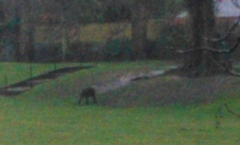 The beast of Dorset: 'Escaped monkey' photographed in park