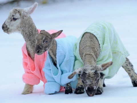 Newborn lambs get woolly jumpers to stay warm and look cool