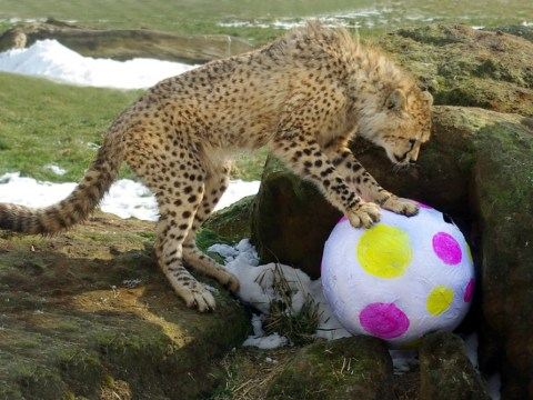 Gallery: Early Easter treat for cheetah cubs at Whipsnade Zoo