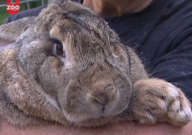 Ralph the giant bunny, world record