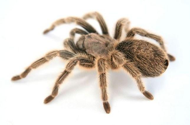 Giant Spider Alert Asbestos Infected Tarantula On The