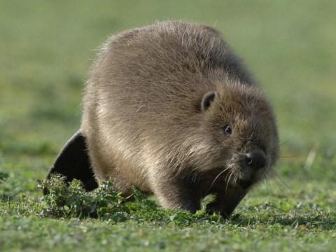 Killer beaver: Fisherman bitten to death by rodent in Belarus