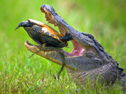 Tough turtle escapes alligator's jaws of death
