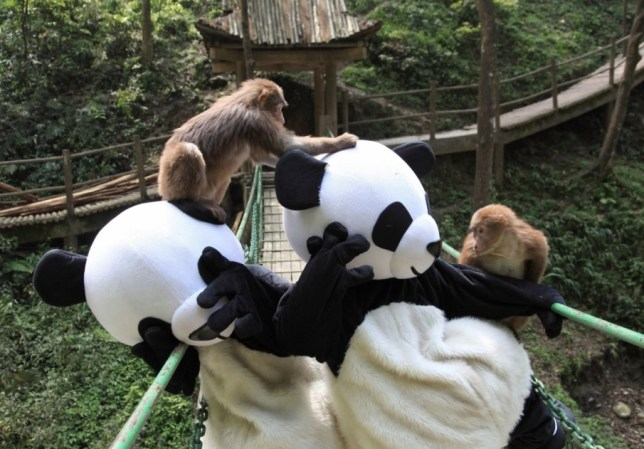 Monkeys bully panda costume zoo workers in China