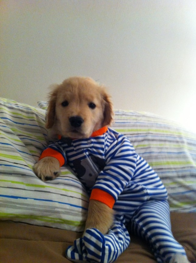 12 pictures that prove blind golden retriever puppy Ray Charles is the cutest dog on the internet