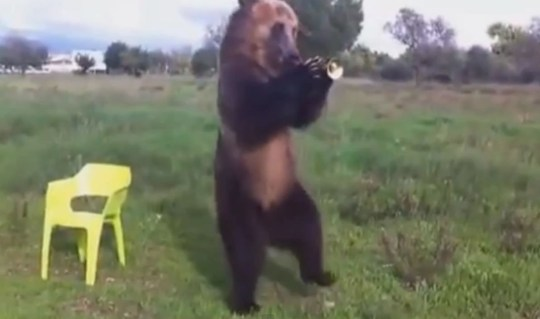 Very Talented Russian Bear and His Awesome Friend video