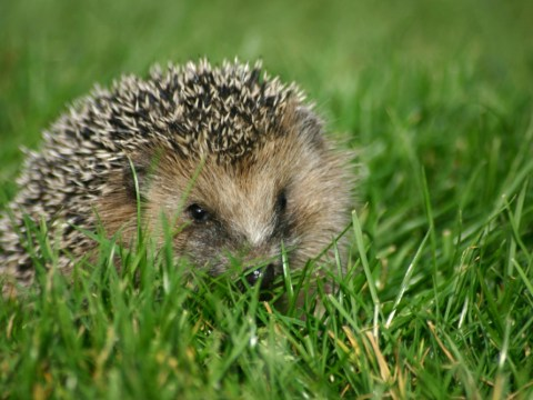 How to provide a house for a homeless hedgehog