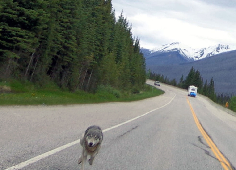 Massive wolf chases man on motorbike for almost a mile