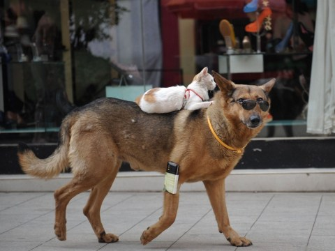 He ain't heavy he's my brother: Sunglasses-wearing dog takes cat for a ride on his back