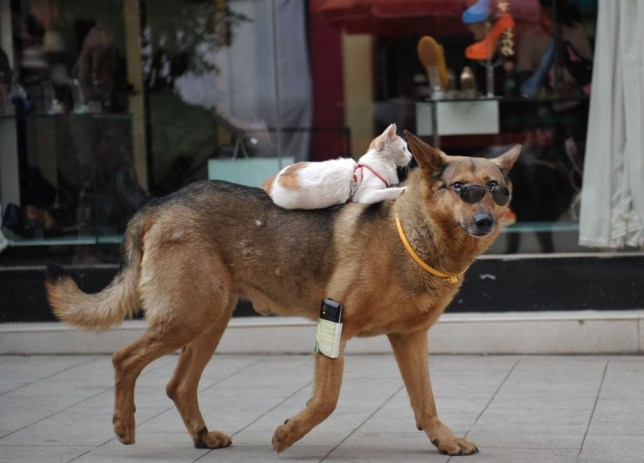 """Mandatory Credit: Photo by HAP/Quirky China News / Rex Features (2593579c)  Cat riding on a dog's back  Cat rides on back of sunglasses wearing dog, Kunming, Yunnan Province, China - 23 Jun 2013  A cat riding on the back of a sunglasses wearing dog may sound unusual but it is a daily scene in Kunming, capital of southwest China's Yunnan Province. Xu Ming owns several dogs and cats and takes them all for a walk daily. According to Xu one of his pet cats and one of his pet dogs are like """"brothers"""" and the cat will even hitch a ride on the dog's back when it gets tired."""