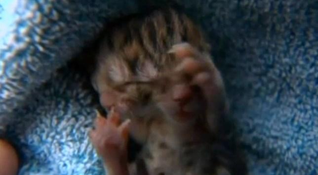 Deucy, two-faced kitten