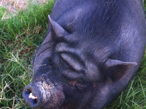 This pig's forehead looks just like Yoda from Star Wars