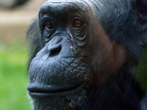 PG Tips adverts star Louis the chimpanzee dies