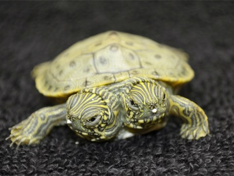 Thelma and Louise, the famous two-headed turtle, gets her own Facebook page