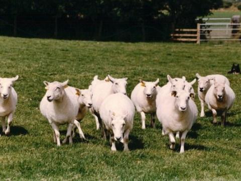 Was he flying a Flocker? Pilot crash-lands into field of sheep