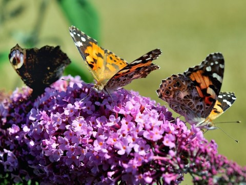 Butterfly boom: Why are there so many butterflies this year?