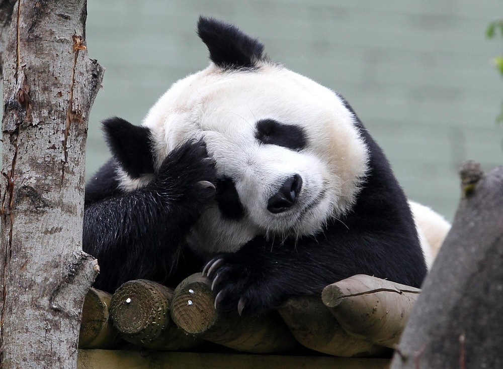 UK's only giant female panda could be pregnant, say zoo keepers