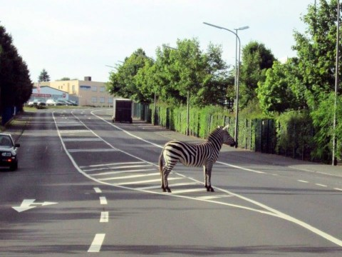 Police alert over zebra crossing as circus animal disappears in middle of the road