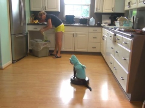 Cat dressed as a shark rides a robotic vacuum cleaner for Shark Week