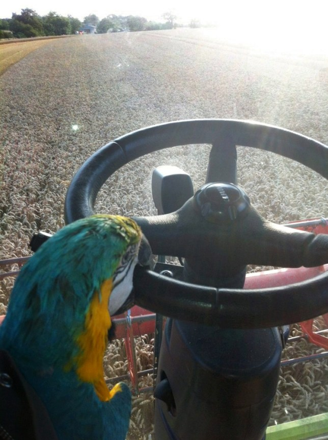 The lost macaw found by farmers Mark Wells and Andrew Barber pictured as it started driving their combine harvester. See MASONS story MNMACAW: Two farmers were stunned when they picked up a macaw in a field - and it started driving their COMBINE HARVESTER. Farm workers Mark Wells and Andrew Barber, both 40, were harvesting the wheat field when they spotted a flash of bright color. The pair jumped off their vehicle and were surprised to see a macaw among the stalks, which they assumed must be a lost pet. They lifted the bird back into the cab of their combine and started up the engine. Mark and Andrew were then stunned when the bird sat on Andrew's lap and clamped hold of the wheel in his beak - and started steering.