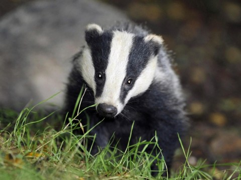 Why the badger cull will spread bovine TB, not help eradicate it