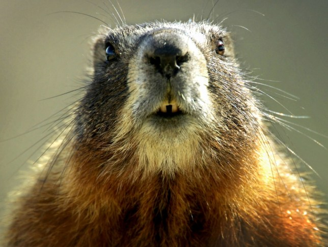 A wild marmot sits in the sun near Great Falls, Mont., Tuesday, April 25, 2006. (AP Photo/Great Falls Tribune, Robin Loznak)
