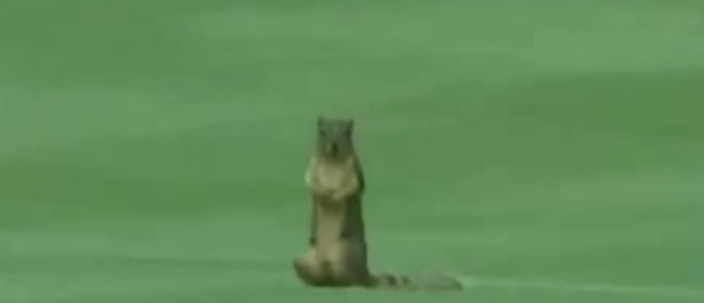 Furry customer: The squirrel takes stock after running off the green