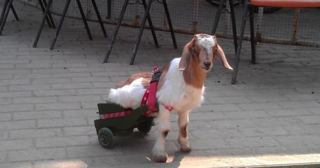 Goat, wheelchair