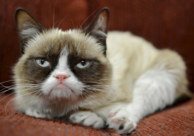 Grumpy Cat becomes new face of Friskies cat food