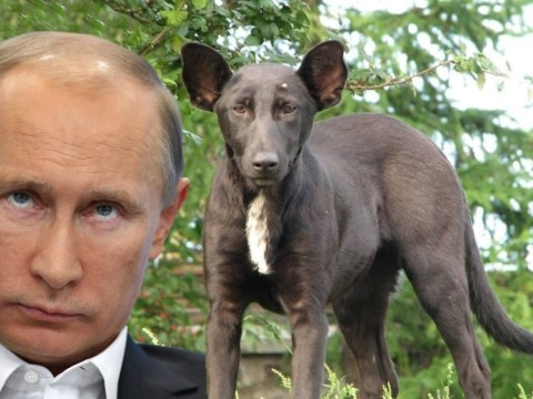 Dog is doppelgänger of Russia's president Vladimir Putin