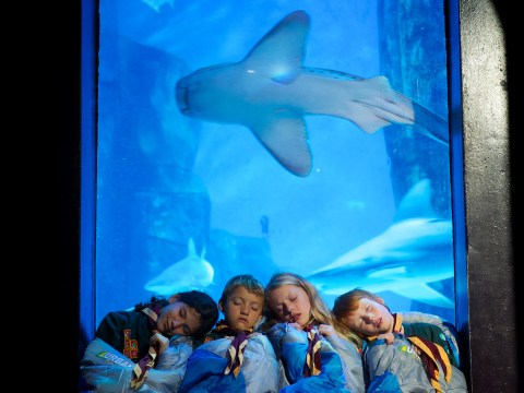 Any-fin is possible! Scouts get snugly with sharks for 'sleep-in' at SEA LIFE London Aquarium