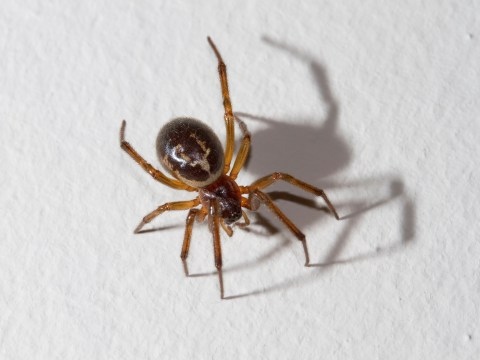 Eight reasons not to be scared of the false widow spider