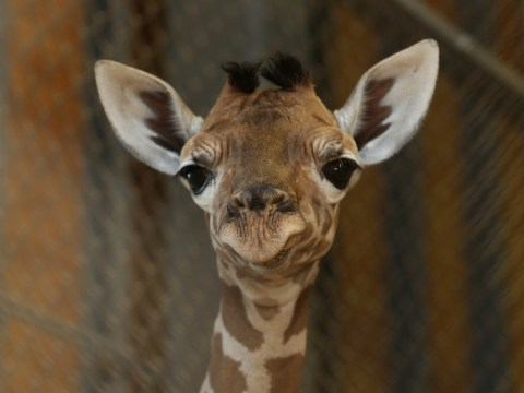 Giraffes take over Facebook profile pictures as users fail to solve riddle