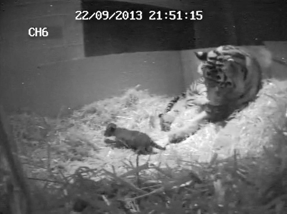 London Zoo's newborn Sumatran tiger cub drowns in pool