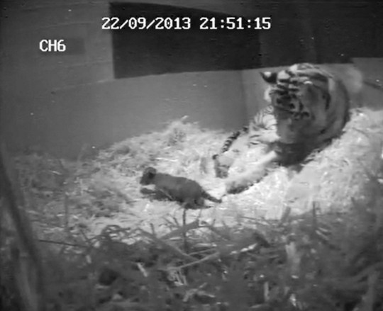 CCTV handout stills dated 22/09/13 issued by London Zoo of the moment that the first tiger cub for 17 years was born on Sunday September 22. PRESS ASSOCIATION Photo. Issue date: Tuesday October 1, 2013. After a pregnancy lasting approximately 105 days and a six-minute labour, five-year-old Sumatran tiger Melati gave birth to a single cub. The top-secret pregnancy was kept under wraps by zookeepers, so that they could keep a careful eye on the first-time mum through hidden cameras  installed to keep watch on Melati without disturbing her, it is thought that the as-yet-unsexed cub will remain off-show for a few more weeks, until Melati is ready to show him or her off to the world. See PA story ANIMALS Tiger. Photo credit should read: London Zoo/PA Wire NOTE TO EDITORS: This handout photo may only be used in for editorial reporting purposes for the contemporaneous illustration of events, things or the people in the image or facts mentioned in the caption. Reuse of the picture may require further permission from the copyright holder.