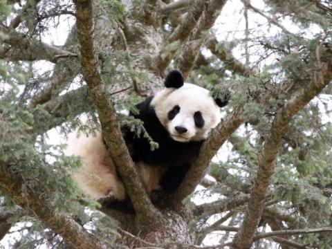Firefighters sent to rescue panda stuck in a tree