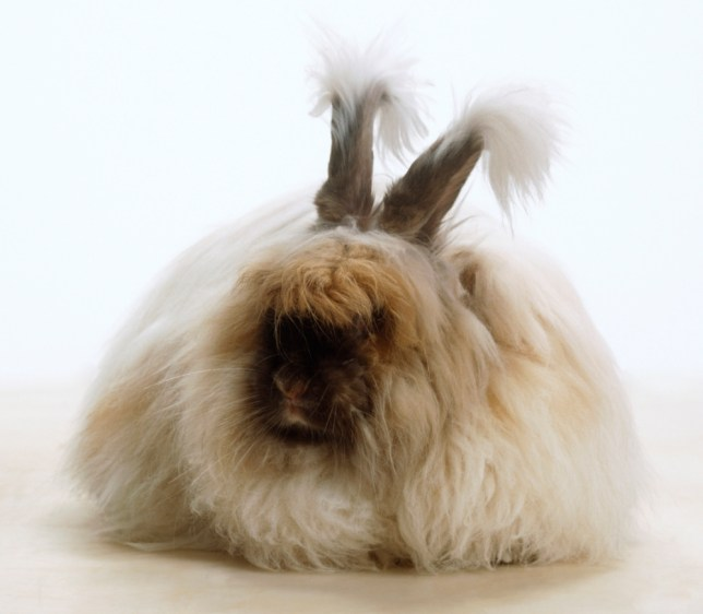 Hair on the throne: Angora rabbits have been popular with royalty for centuries