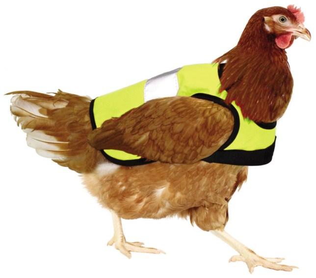 Chicken,  high visibilty jacket