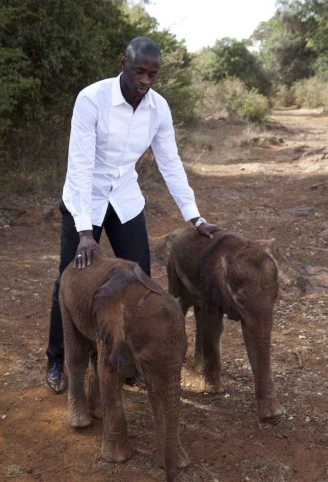Manchester City and Ivory Coast midfielder Yaya Toure visits baby elephants at the David Sheldrick Wildlife Trust elephant orphanage, to highlight the fight against the illegal ivory trade after he was declared a United Nations Environment Programme (UNEP) Goodwill Ambassador, at the Nairobi National Park in Kenya Tuesday, Oct. 29, 2013. FIFA will seek assurances from Russia's 2018 World Cup leaders that they are taking action to eradicate racism from matches after the problem was highlighted during a globally-televised Champions League match on Wednesday last week when CSKA Moscow fans hurled abuse at Manchester Cityís Toure. (AP Photo/Sayyid Azim)