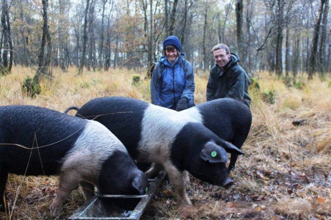 Missing pigs, Lancashire