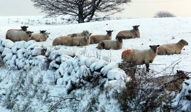 Sheep in the hills above Glenarm in Co Antrim, as the first snowfall of the season covered parts of the province, with the Met office warning of ice on many roads this morning as temperatures fell overnight. PRESS ASSOCIATION Photo. Picture date: Tuesday November 19, 2013. Photo credit should read: Paul Faith/PA Wire
