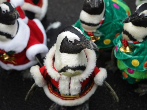 Gallery: Penguins dress as Santa Claus at Everland