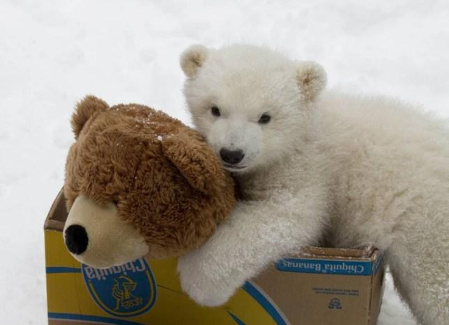 Too cute to bear: Orphaned polar bear cub becomes best friends with a teddy