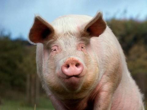 42-stone pig 'bigger than a bear' tramples pensioner